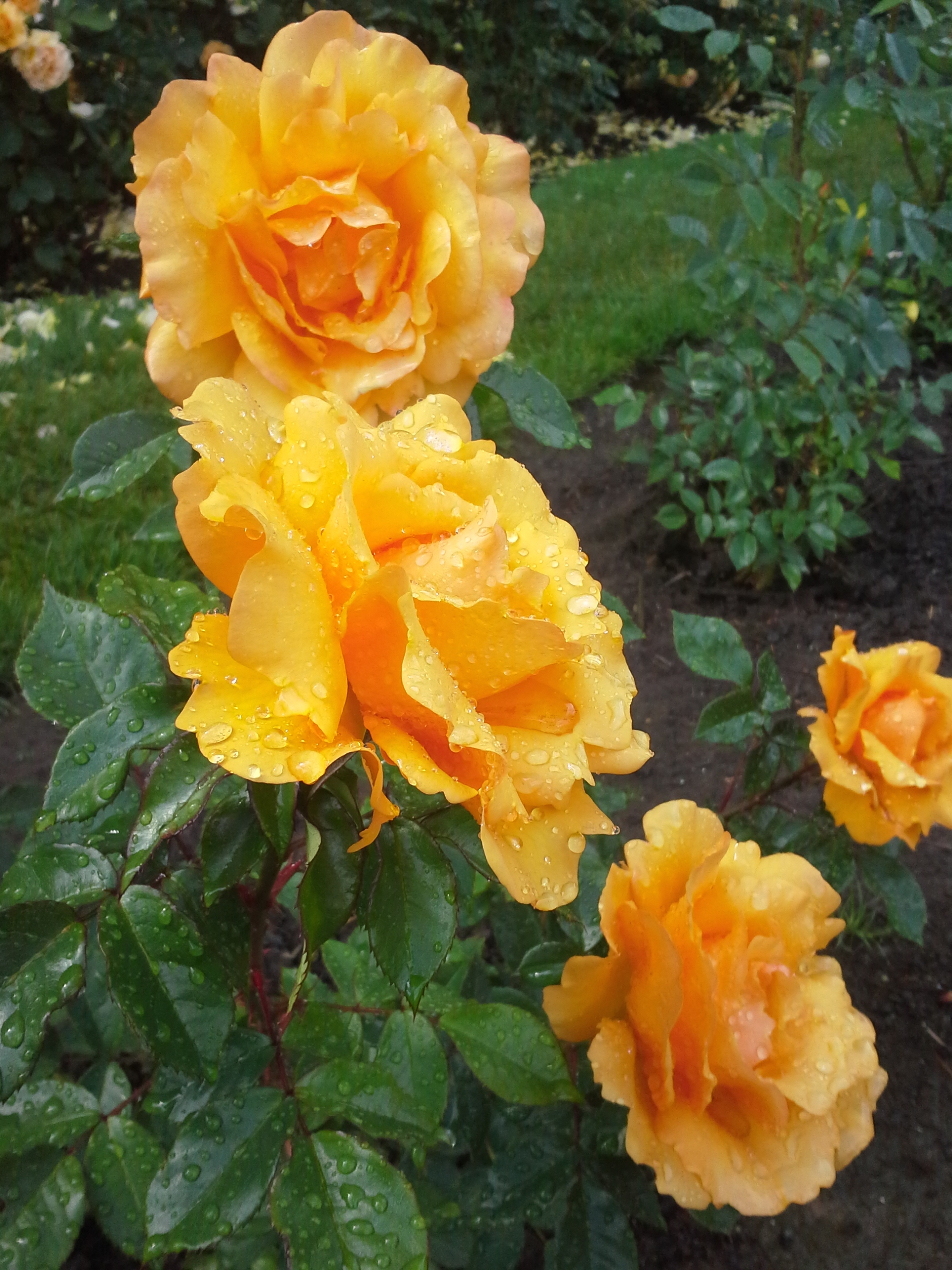 bright yellow roses after rain photo