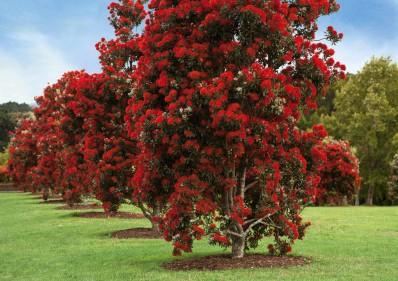 Метросидерос в Австралии
