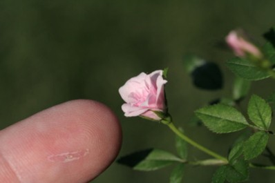 The smallest rose in the world