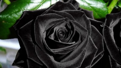 Black rose is not actually black