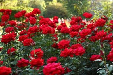 rose plantations