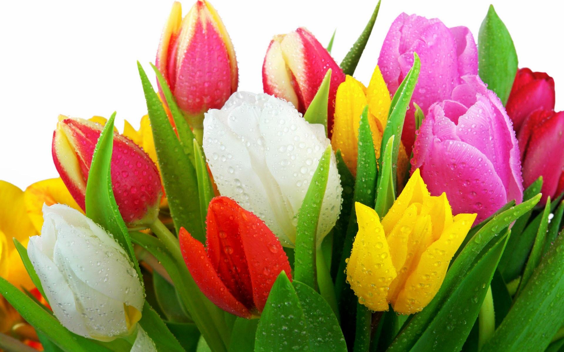 Popular flowers in Russia - tulips