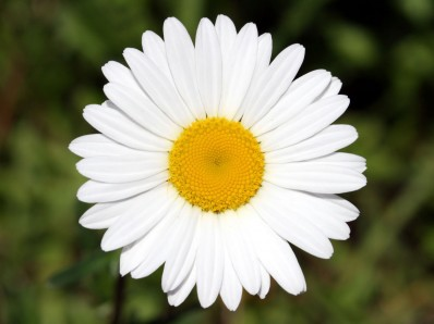National and popular flowers in russia flowersussr chamomile national flowers of russia and ukraine mightylinksfo